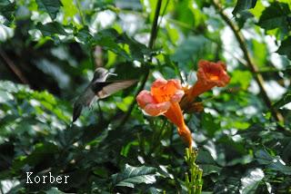 hummingbird and native red trumpet vine