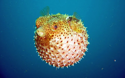 A puffer fish wallpaper