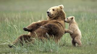 beruang kecil berusaha mendorong induknya