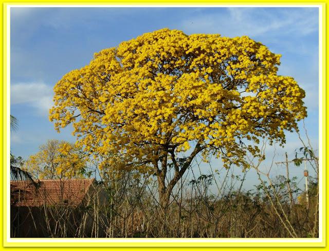 ipe amarelo - belanaselfie