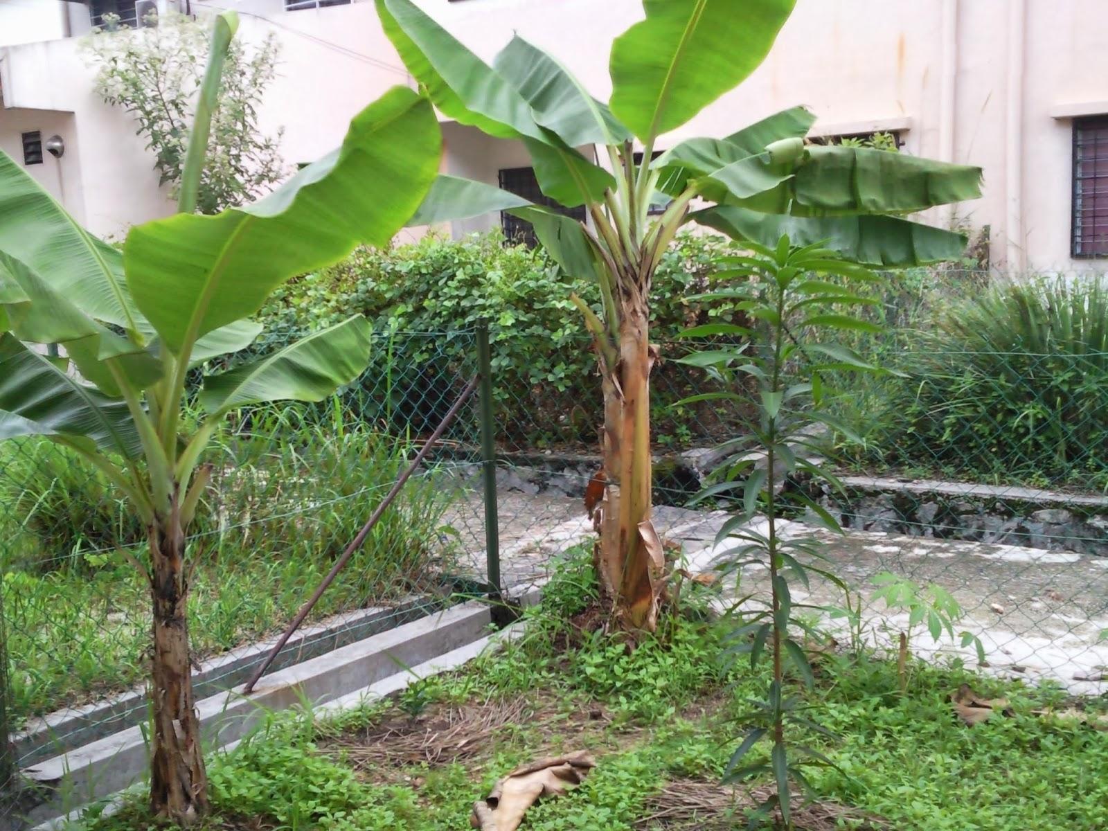 Mangga Berbuah Pisang Pisang Lagi Dan Pokok Mangga
