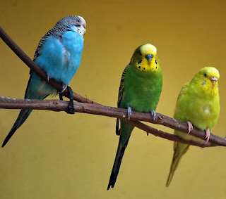 Green & blue parakeets. Taken by: Benjamin Miller; Source: FreeStockPhotos.biz