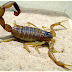 3 Scorpions Most Aggressive and Dangerous in the World