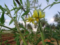 Flower of Tomato