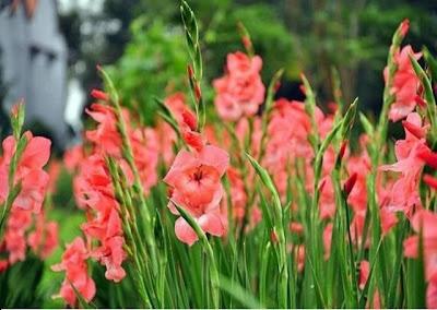 Vườn hoa lay ơn