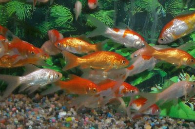 Irrelevant musings by a madjellyfish fishes of gold for Can tropical fish live with goldfish
