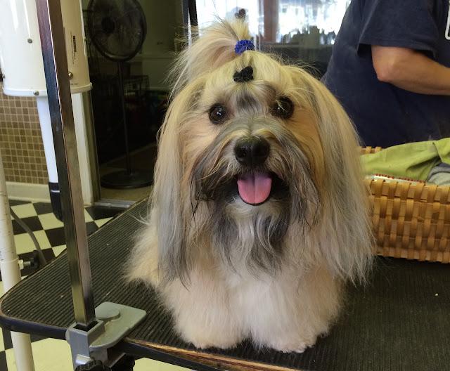 Rocco Havanese dog grooming