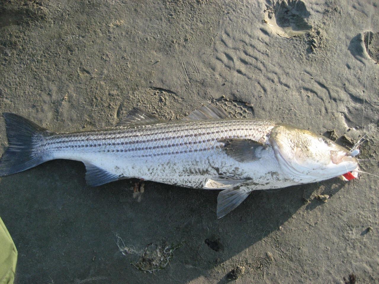 Sc striped bass for John skinner fishing