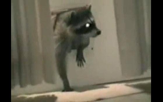 Dicen que los mapaches son ladrones por una buena razón (video gracioso)