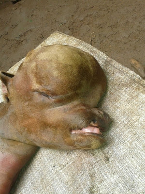 Bizarre! Calf With Human Resemblance Born In Meru Country (Photos)