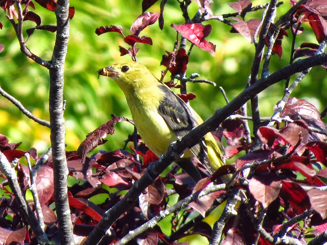 scarlet tanager one