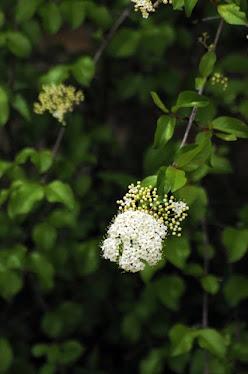Southern Blackhaw, Viburnum rufidulum