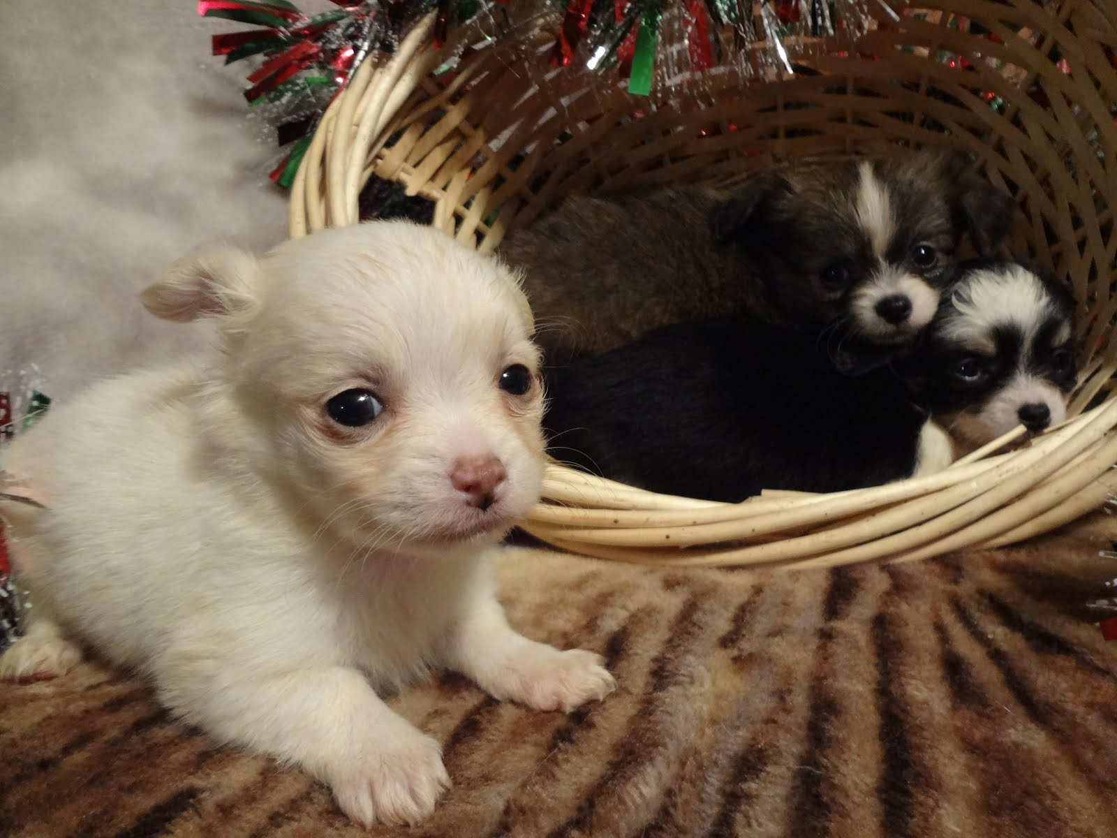 Three Chihuahua puppies