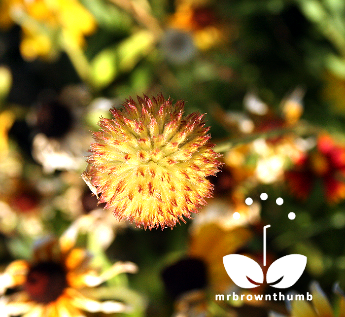 Gaillardia flower seed head