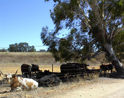 Cattle in Paso Robles on Hwy 46 West, © B. Radisavljevic