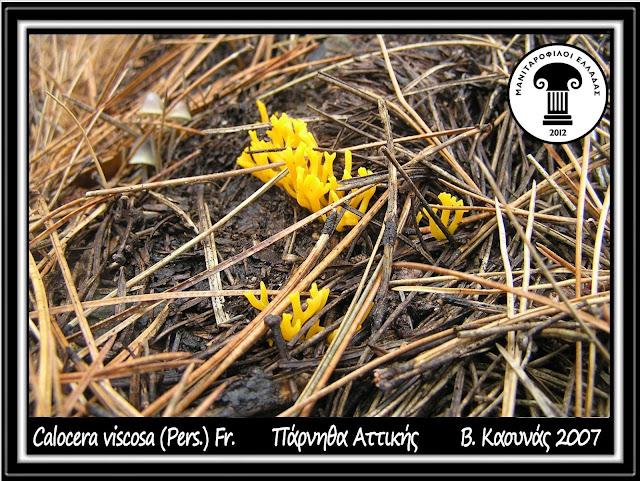 Calocera viscosa (Pers.) Fr.