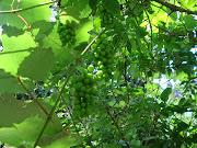 Plante frutas orgânicas