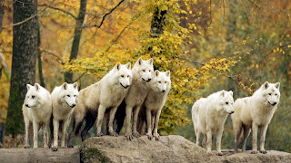 ภาพ ฝูงหมาป่าสีขาว
