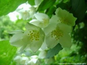 Zapach jaśminu - wiersz Jolanty Marii Dzienis Fot. Dariusz Marek Gierej