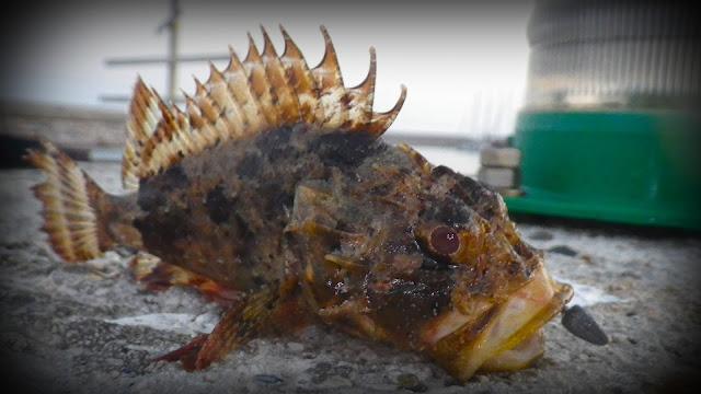Rockfishing montpellier rascasse