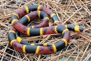 Otto serpenti pi velenosi del mondo for Veleno per serpenti