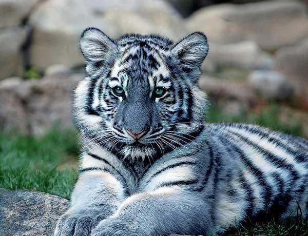 Cute White Tiger
