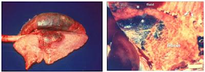 Phổi bị xuất huyết do heo nhiễm PRRS