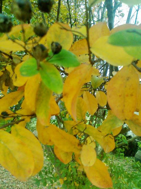 Hojas de Crespón en otoño