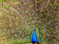 Indian peacock (Pavo cristatus)