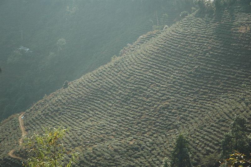 大吉嶺紅茶-紅茶之皇者