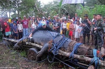 القبض أكبر تمساح العالم