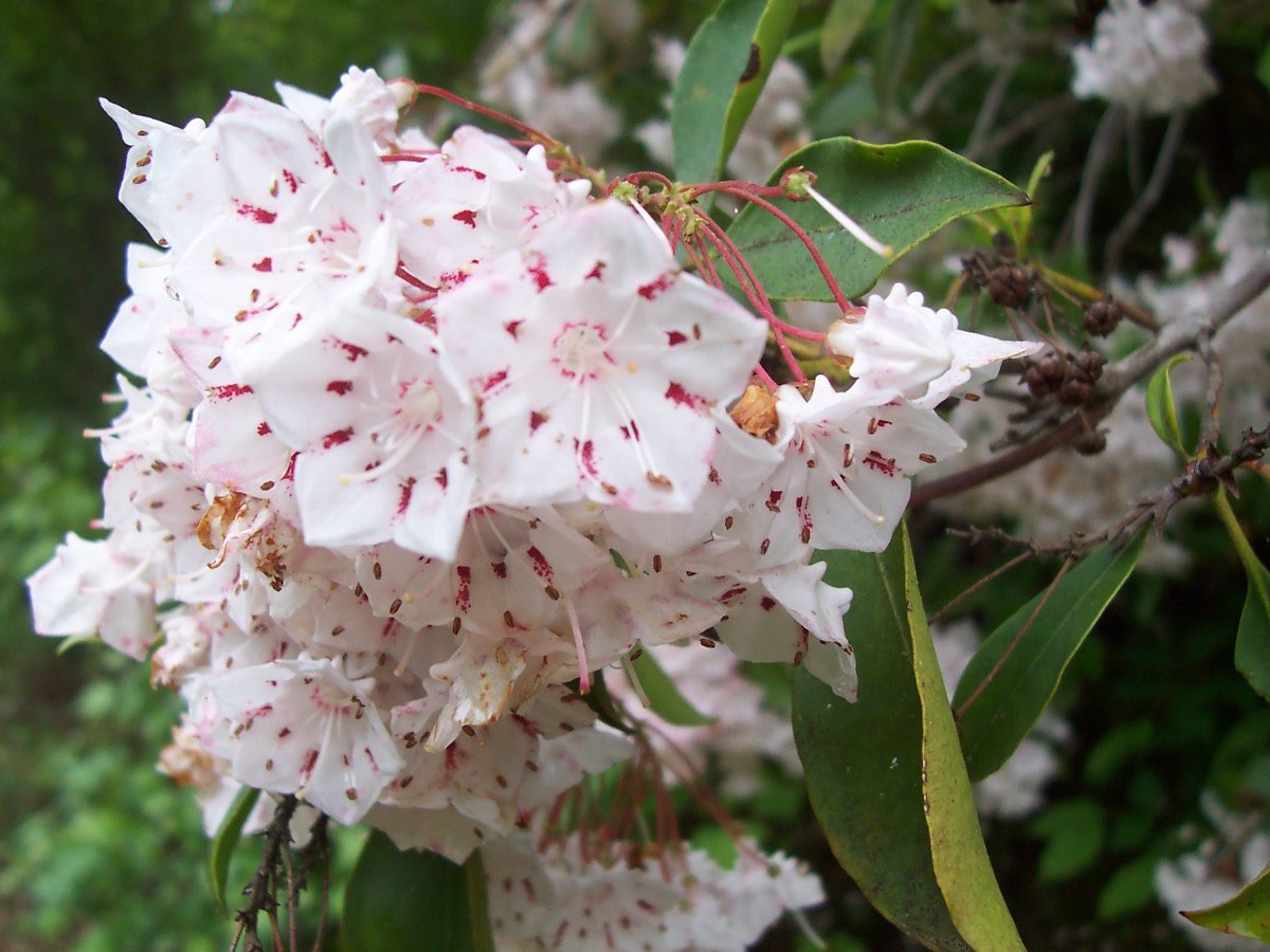 Flower s Mountain Laurel Flower