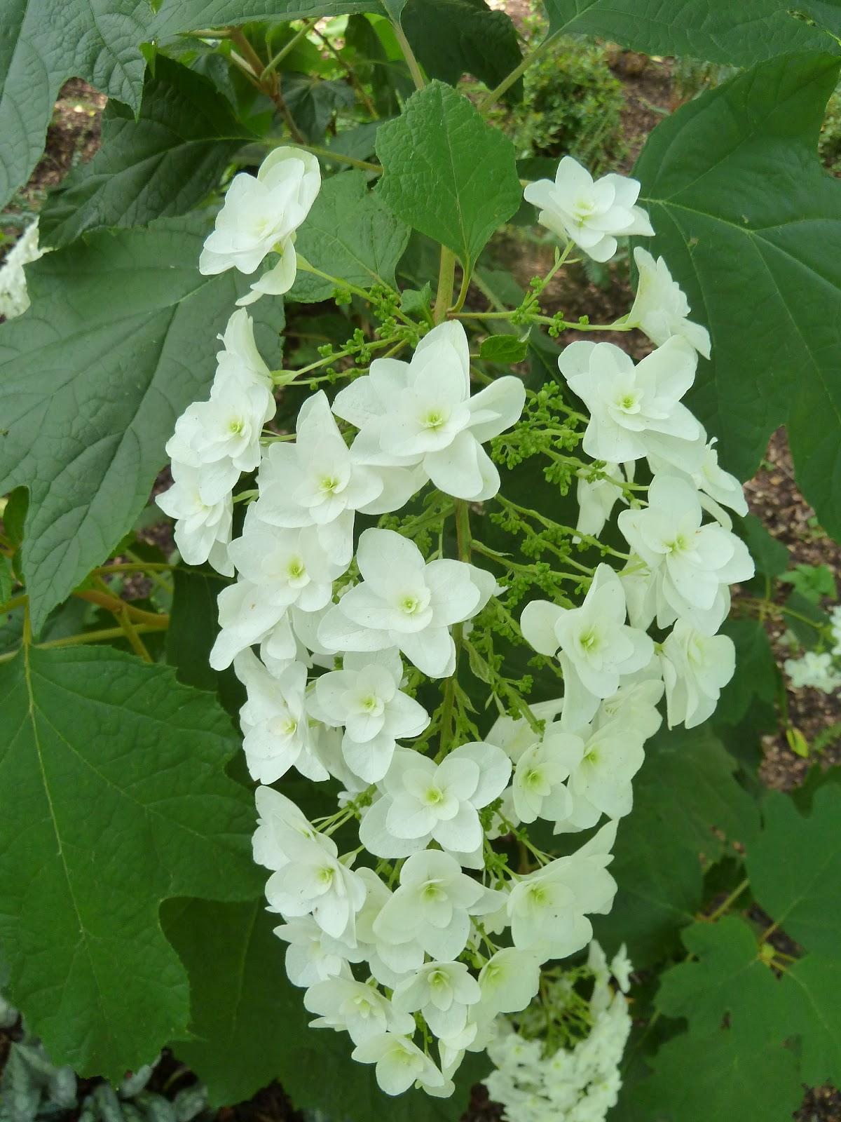 Hydrangea season mani verde green hands by josh coceano for Hydrangea quercifolia