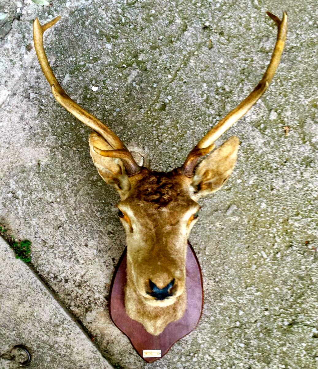 Encantsvintage cabeza de ciervo naturalizada for Cabeza de ciervo