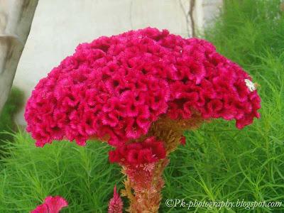 Cockscomb Flower Picture