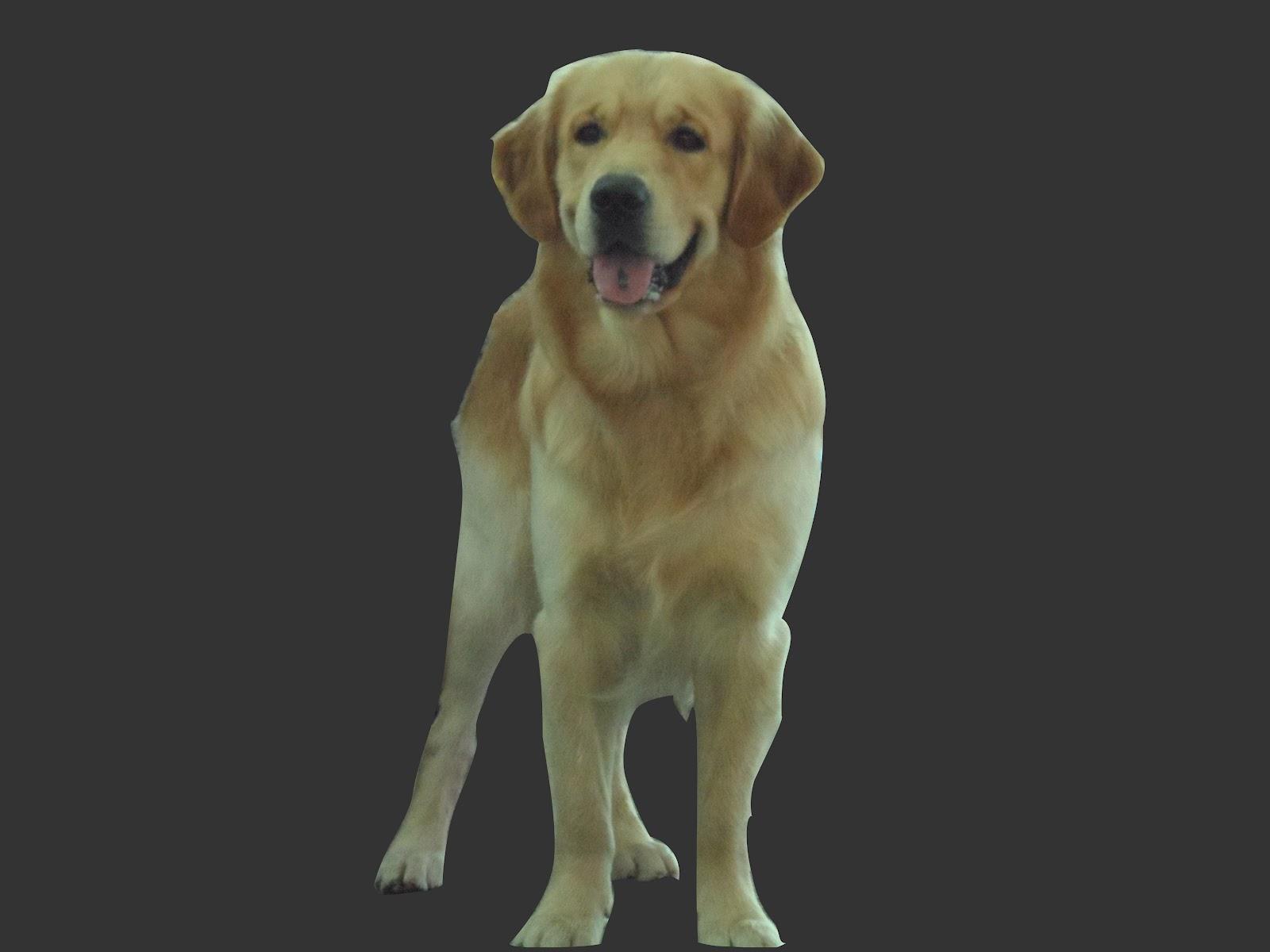 Perro-Golden