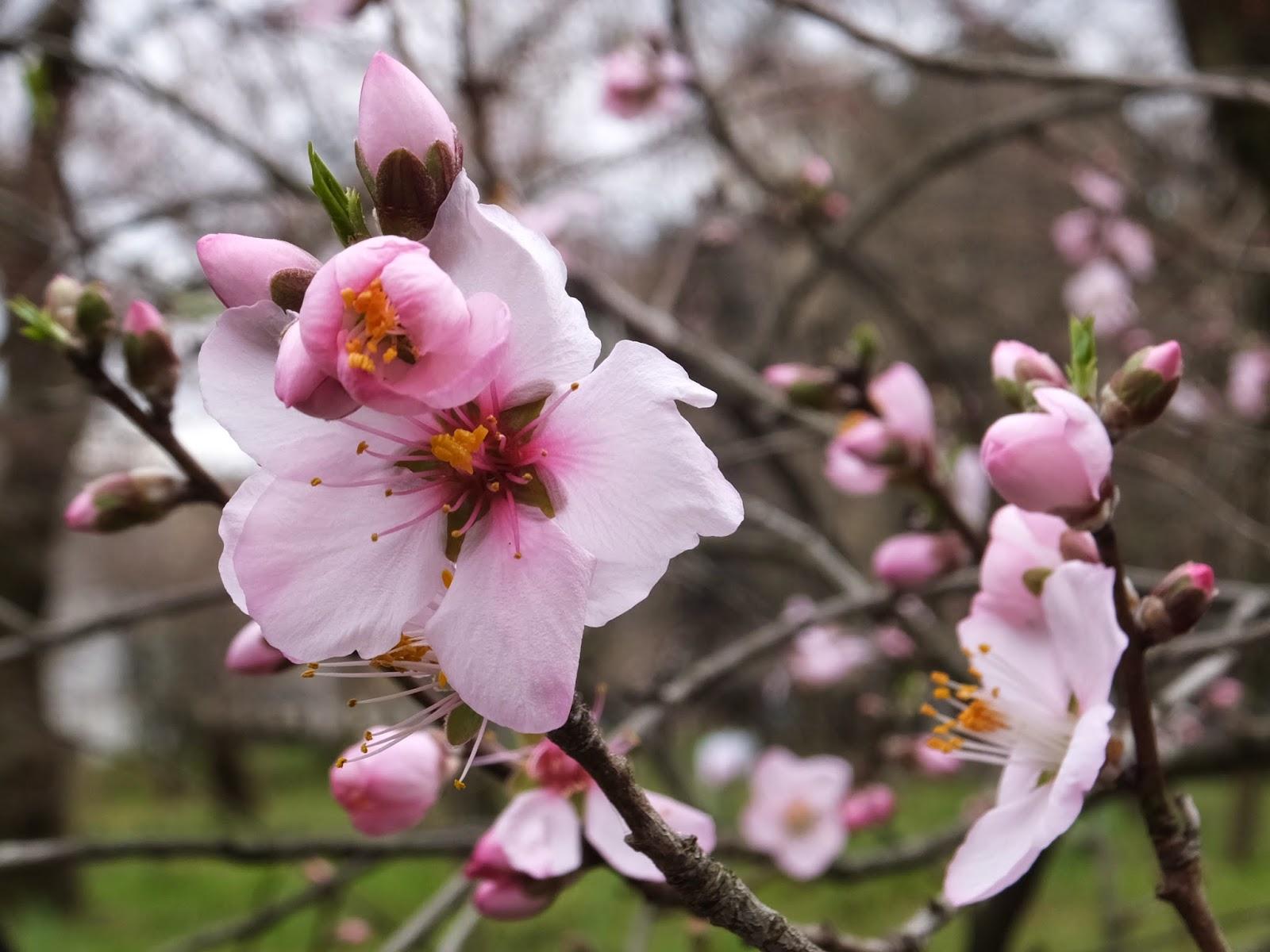 アーモンド(扁桃)の花、サクラともいえず、桃ともいえない・・・。