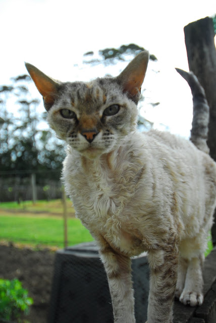 Cat from the Fat Pig Vineyard in Kerikeri, New Zealand