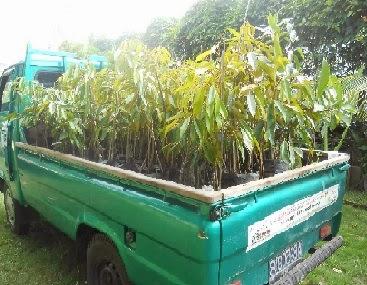 pengiriman bibit durian bawor