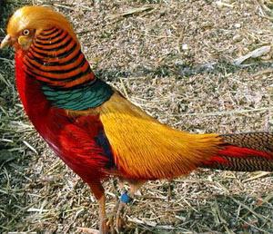 صورة طائر الدراج الذهبي اجمل الطيور الملونة بالعالم Golden Pheasant