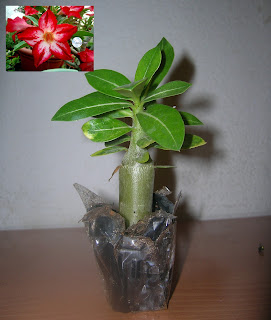 Adenium obesum - Page 11 Cynthia+plant