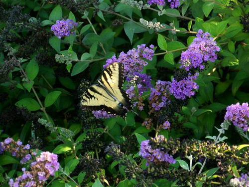 Growing Butterfly Bush Planting To Attracts Butterflies In
