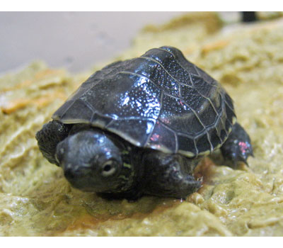 Turtle Base Blog: Reeves Turtle Care