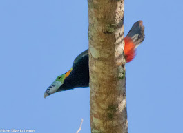 POSTER:Araçari-Poca-de-bico pintalgado, Chaves,Sta.Leopoldina,ES, Brasil.