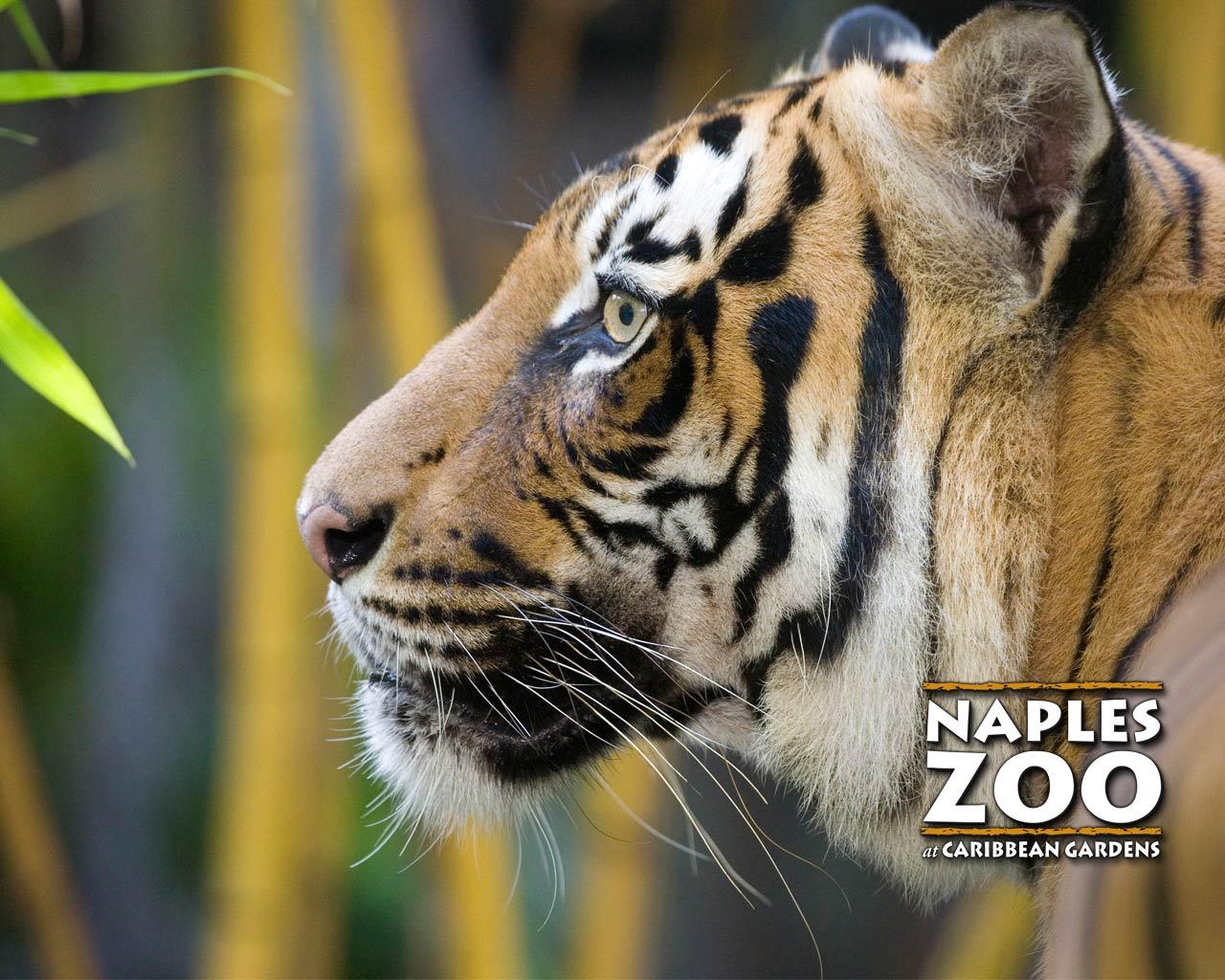 http://2.bp.blogspot.com/-ga03Sib8XrM/TbI5GQtJh7I/AAAAAAAAABk/_rCkbUKLGhM/s1600/tiger-wallpaper-naples-zoo1.jpg