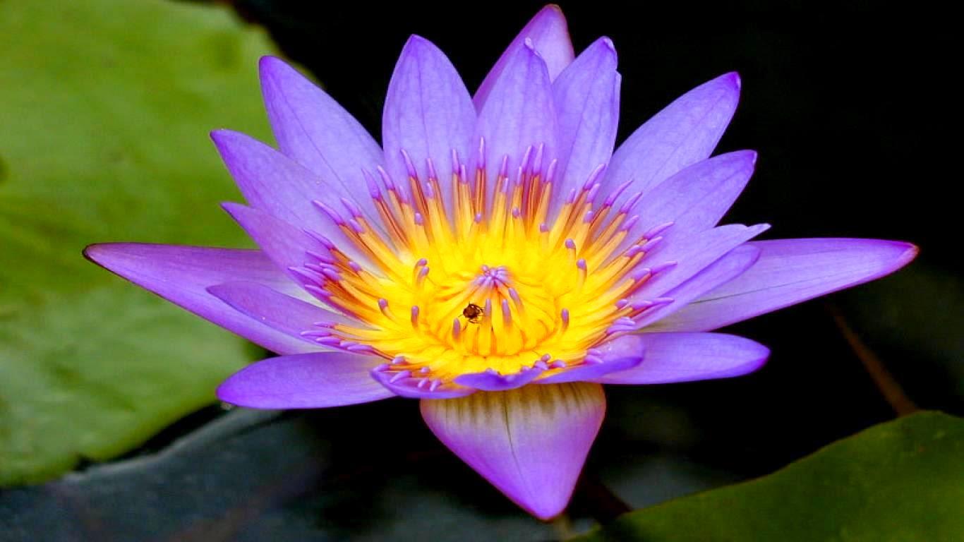 Beautiful Borneo Island Blue Lotus Or Blue Egyptian
