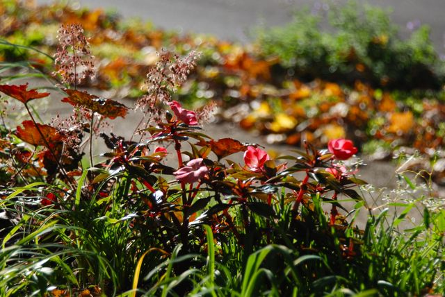 Another annual photo taken just pre-frost on Friday.... New Guinea Impatiens and seed heads of Heuchera 'Palace Purple' in Cherry Corner looking toward the Curb Strip planting with Nepeta 'Walker's Low' still blooming.