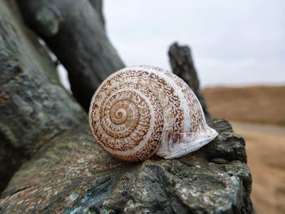 A milk snail (Otala lactea)