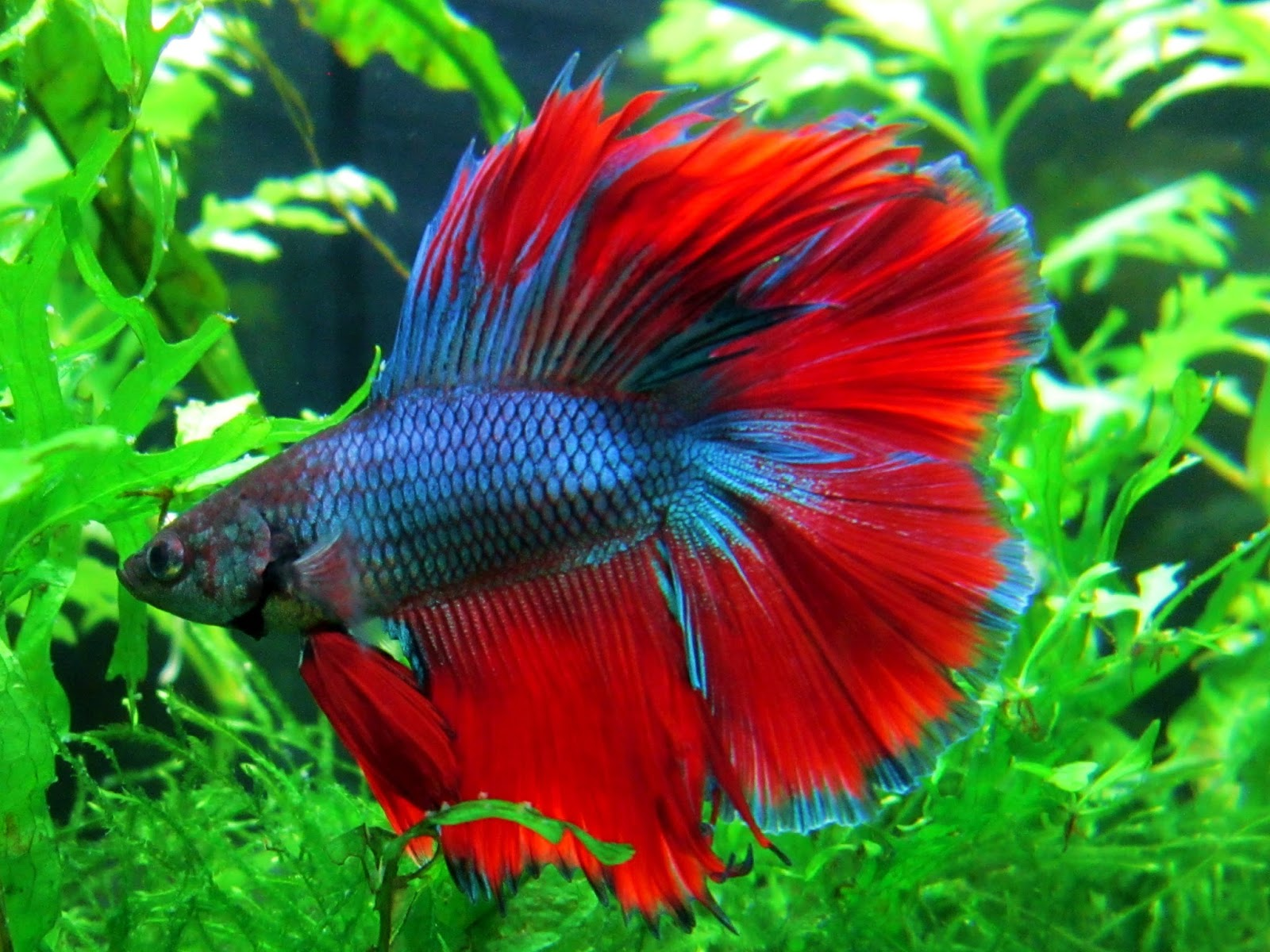 All About Bettas fish: Betta Fish Care Guide