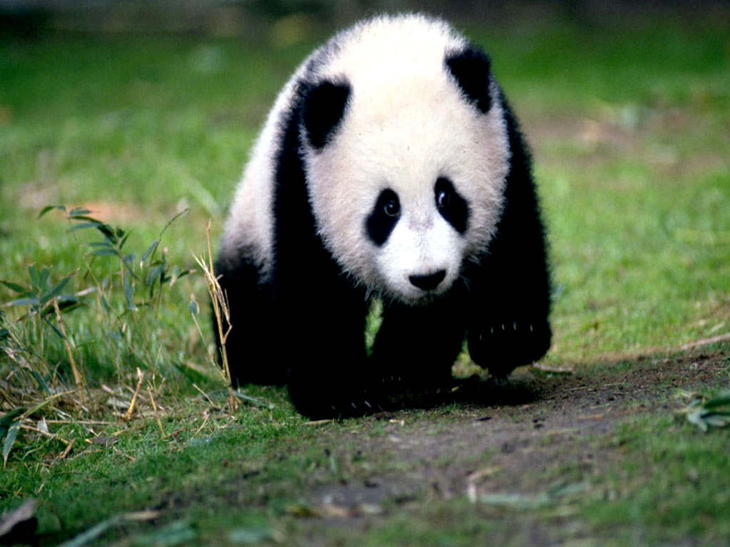 background wallpaper panda - photo #38